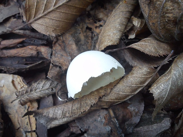 dove, egg shell, bird, egg
