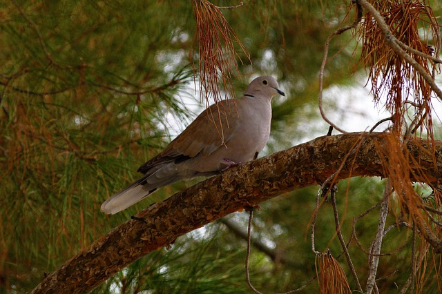 dove, pigeon, bird, feathered, sitting, tree, animal