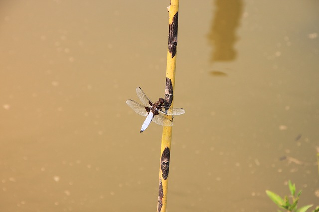 dragonfly, hanging, large, water, willow, insects