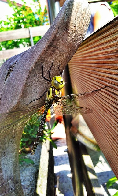 dragonfly, insect, pond, garden