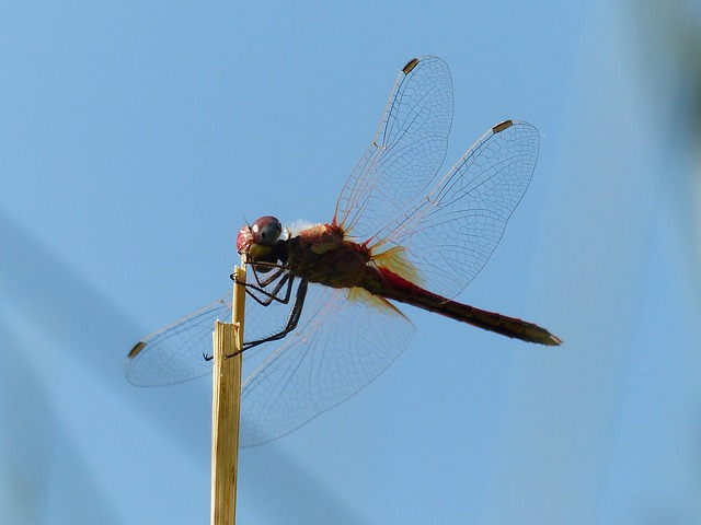 dragonfly, red, head, animal, insect, flight insect