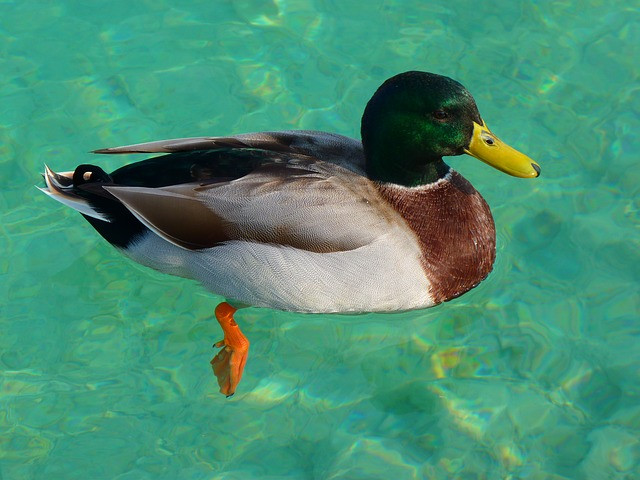 drake, duck, mallard, bird, water, swim, clear