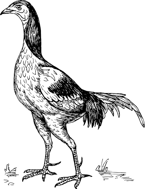 drawing, bird, game, wings, standing, tail, cock
