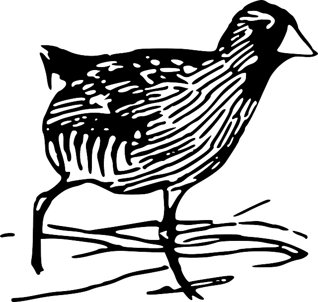 drawing, bird, rail, art, species, rails