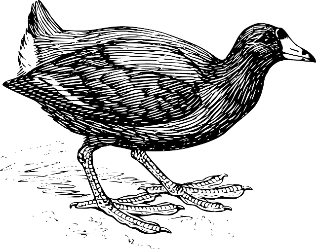 drawing, bird, wings, walking, feathers, coot