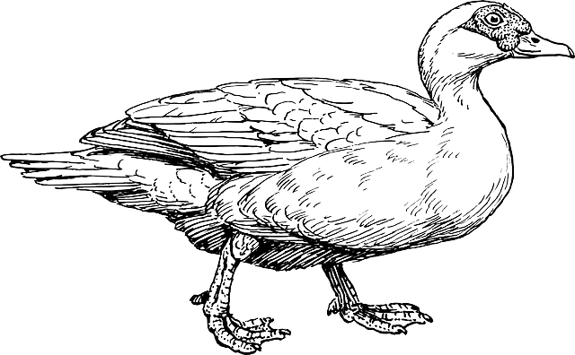 duck, animal, biology, bird, ornithology, zoology