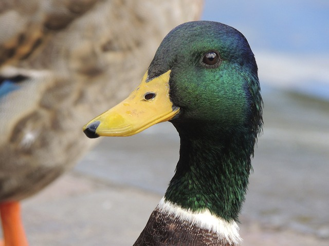 duck, bill, portrait, macro, head, plumage, water bird
