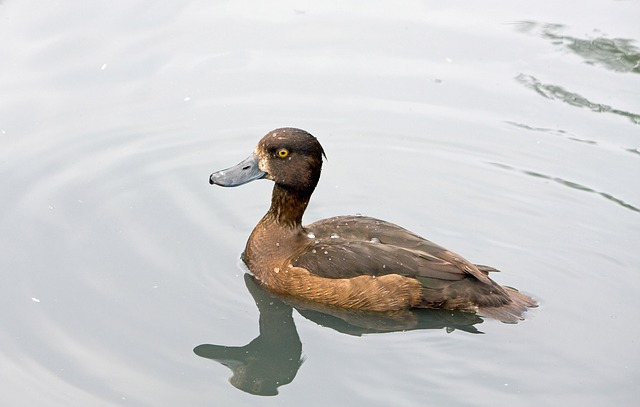 duck, brown, bird, pretty, animal, wildlife, nature