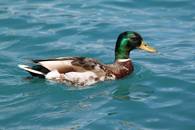duck, ducks, animal, water bird, water, drake, nature