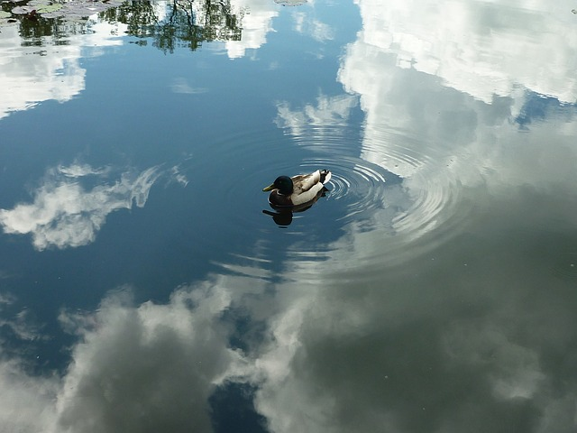 duck, sky, reflection, water, mirroring, shine