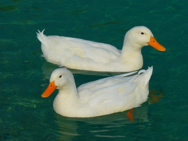 duck, white duck, ducks, animal, water
