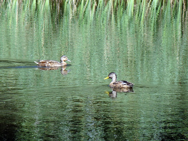 duck, wild ducks, pond, lake, reeds, reflection