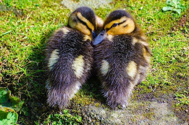 duckling, animals, small, baby, grass, water, close-up