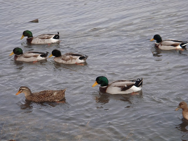 ducks, pond, water, animal, duck bird, bird, water bird