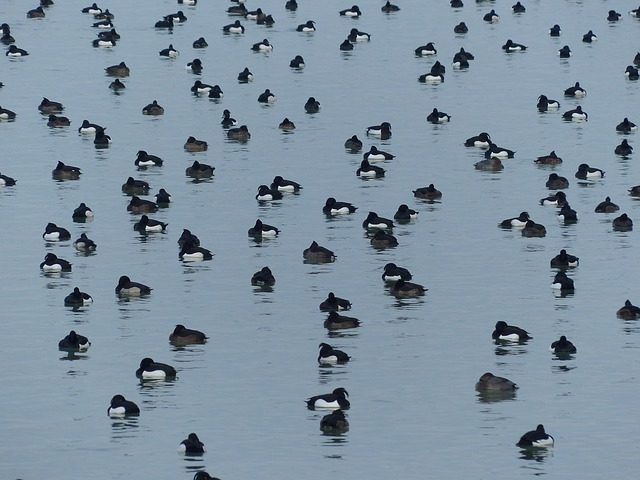 ducks, waterfowl, water, see, tufted duck