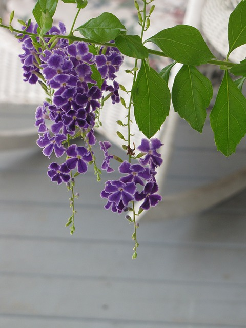 duranta plant, purple flowers, flower, bloom