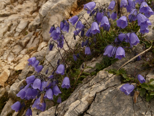 dwarf bellflower, bellflower, blue, purple