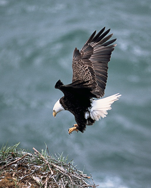 eagles nest, flying, bald eagle, bird, predator