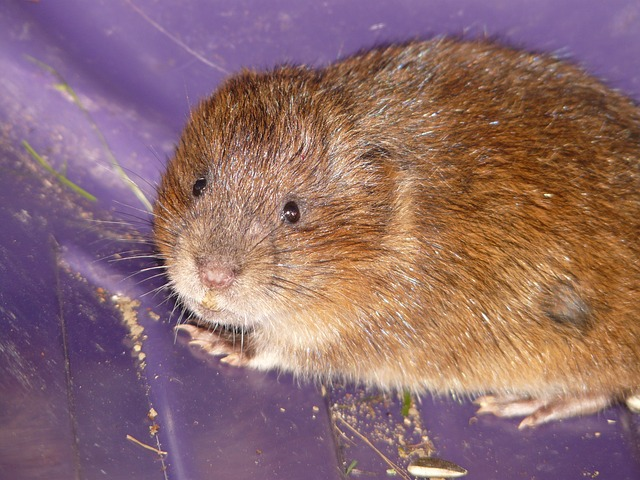 east water vole, mouse, face, cute, sweet, close