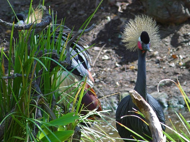 eastern crowned crane, crane, bird, headdress, pride