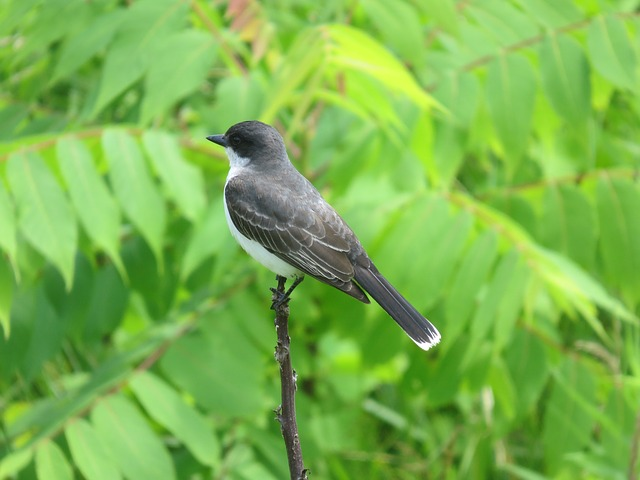 eastern kingbird, close up, profile