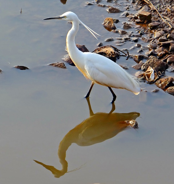 egret, bird, wildlife, dharwad, karnataka, india