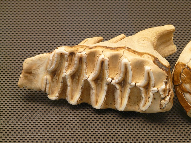 elefantenzahn, tooth, bone, skeleton, teeth