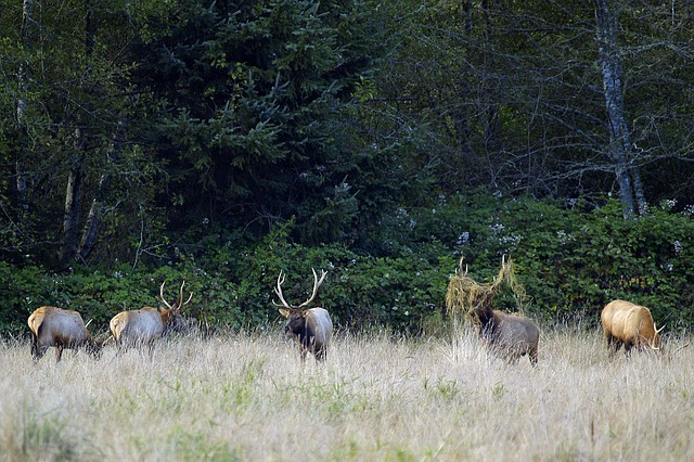 elk, herd, animals, nature, wildlife