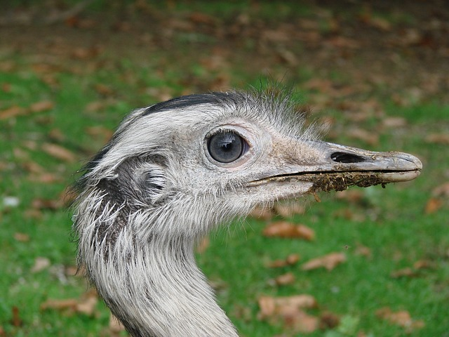 emu, wild animal, bird