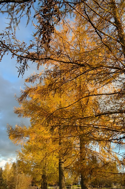 european larch, tree, larch, larix decidua, fall color