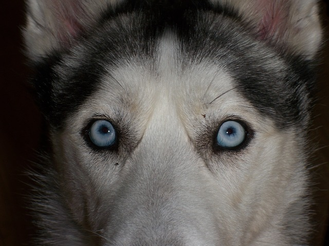 eyes, blue, siberian husky, close