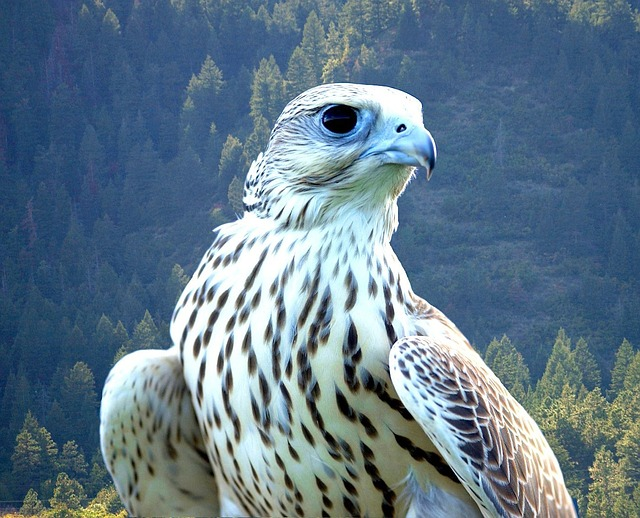 falcon, white, bird, beautiful, predator, hunter