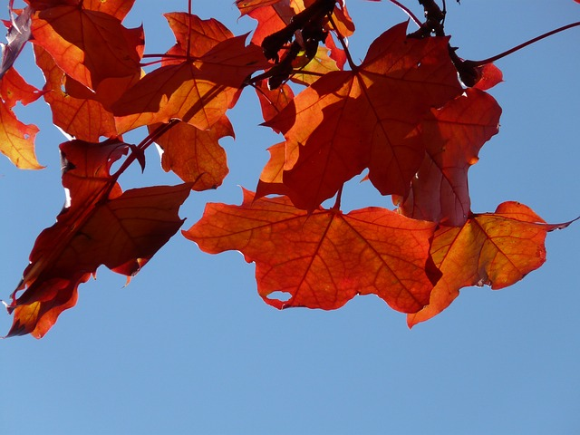 fall foliage, autumn, maple leaves, red, yellow, orange