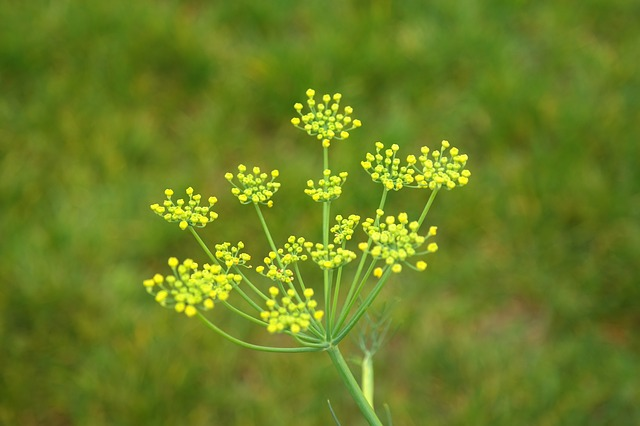 fennel, flower, inflorescence, yellow, yellow green