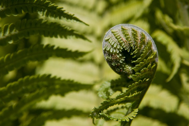 fern, fiddlehead before the roll out, green, plant