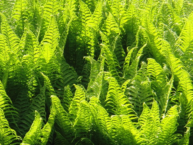 fern, plant, nature, green