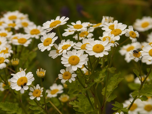 feverfew, flower, white, yellow, tanacetum parthenium