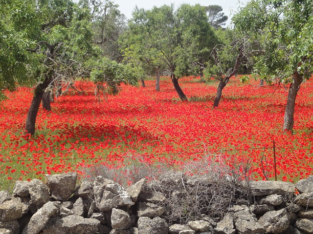 field of poppies, red poppy, landscape, red, nature