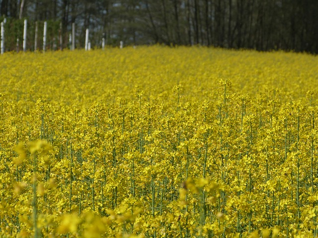 field, yellow, flower