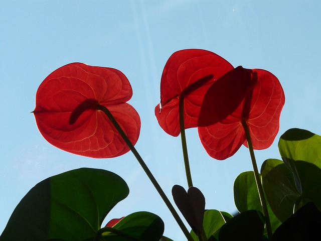 flamingo flower, anthurium, petals, flowers, red