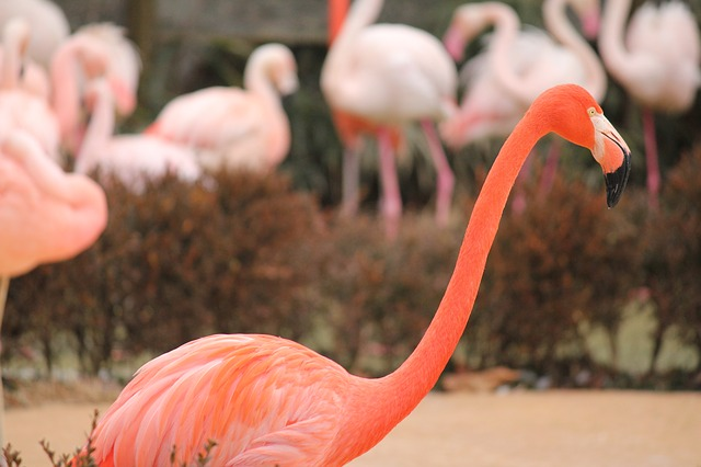 flamingo, pink, bird, nature, tropical, animal