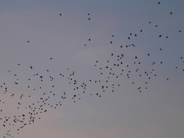 flock of birds, birds, fly, pets, heaven, creature