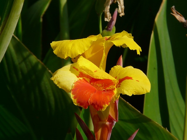 floral tube, canna, floral tube greenhouse, cannaceae