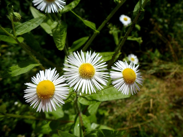 flower, chamomile, spring, yellow flower, nature, plant