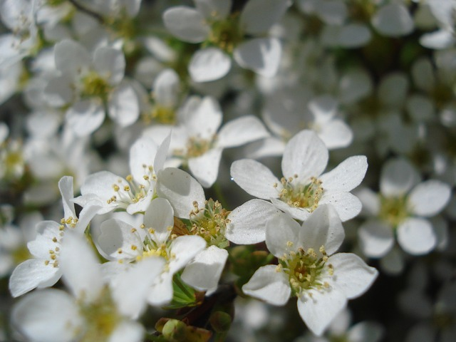 flower, flowering, white, spring, detail