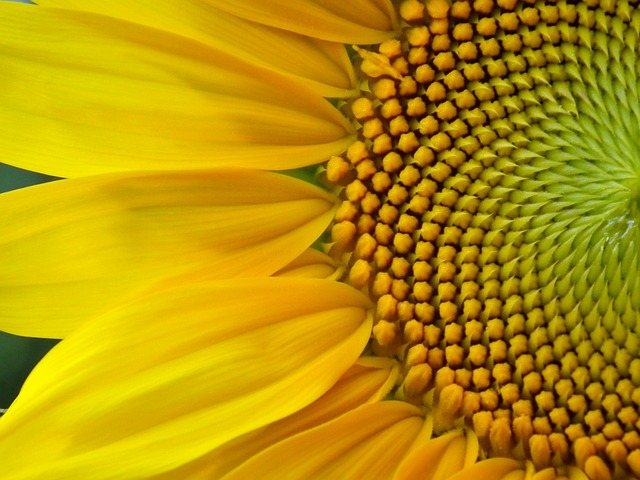 flower, flowers, sunflower, yellow, sunny, huge flower