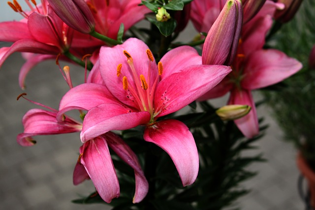flower, lilies, color, stamp, petal, red, pink