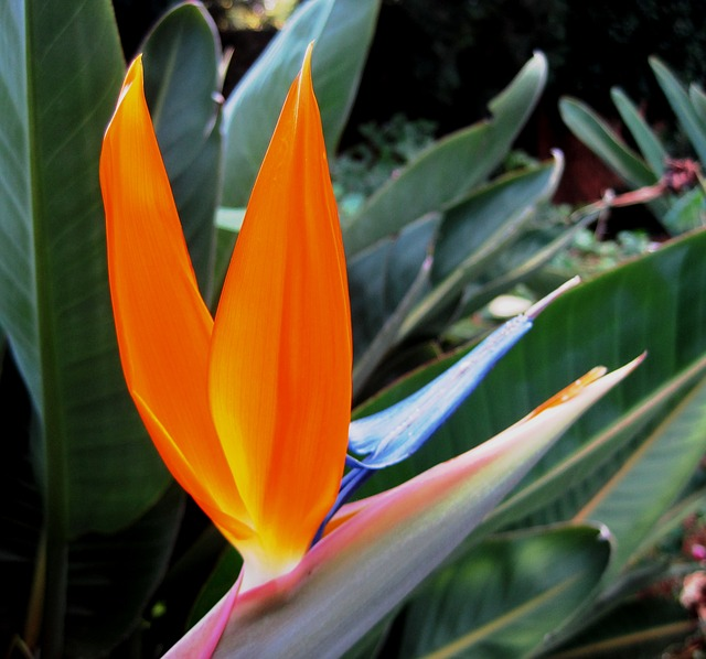 flower, orange, bright, blue, white, bird of paradise