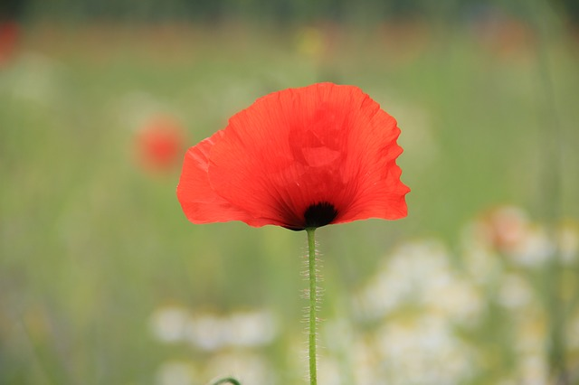 flower, plant, flowers, nature, poppy