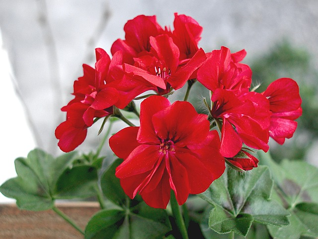 flower, plant, red